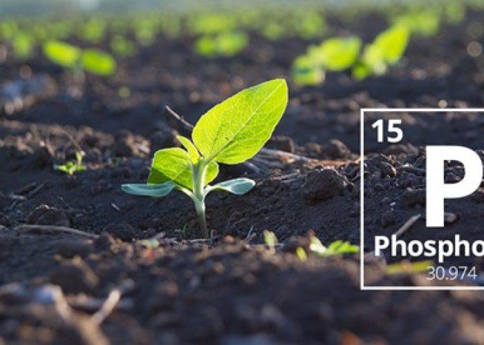 Importancia Del Fósforo (P), En La Nutrición De Los Cultivos